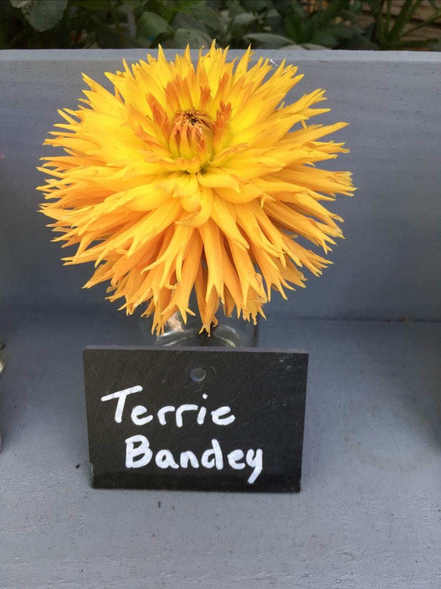 A yellow Dahlia flower